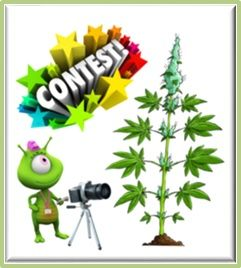 Cannabis Bud Shot Pic Competions, Best Marijuana Picture wins the Prizes