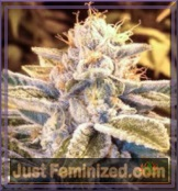 Auto Blue Dream Feminized Mix & Match Seeds