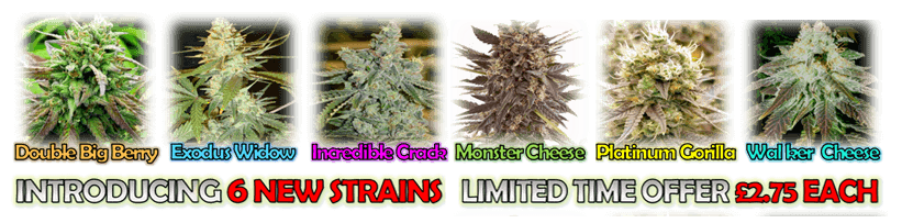 6 Brand New Marijuana Strains - Limited Time Discount Introductory Offer - £2.75 each Cannabis Seed - Double Big Blueberry - Exodus White Widow - Incredible Green Crack - Monster Cheese - Platinum Gorilla Cookies - White Walker Cheese