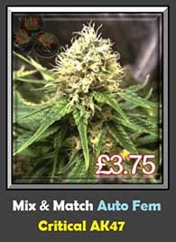 High Quality Critical Mass AK47 Automatic Ruderalis Weed Strain