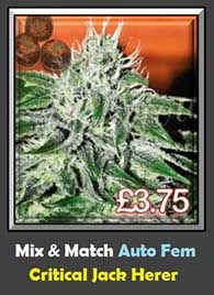Critical Jack Herer Automatic Mix & Match Single Weed Seeds - Cheap