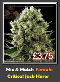 We Supply the Best Genetics Click here to buy Critical Jack Herer