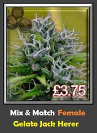 Gelato Jack Herer Pick & Mix Single Cannabis Seeds Not Male