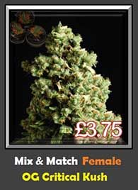 OG Critical Kush Fast Flowering Indica Weed Genetics Single Seed Pack