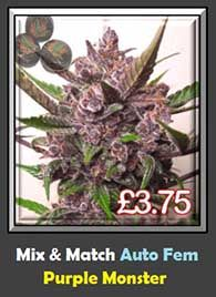 Potent Strain Purple Monster Available to Buy Online - FREE SEEDS