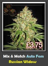 High THC Automatic Cannabis Strain Russian Widow for Sale