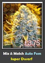 Super Dwarf Auto Pot Seeds in Stock - over 5000 Female Strains Available