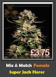 Super Skunk x Jack Herer High Strength Top 20 Cannabis Strain Weed Seeds